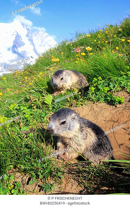 alpine marmot Marmota marmota, two juveniles at the den in a mountain meadow in front of panoramic view of Grossglockner, Austria, Hohe Tauern National Park