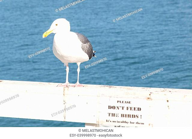 California Gull (Larus californicus) is a medium-sized gull regularly found in western California