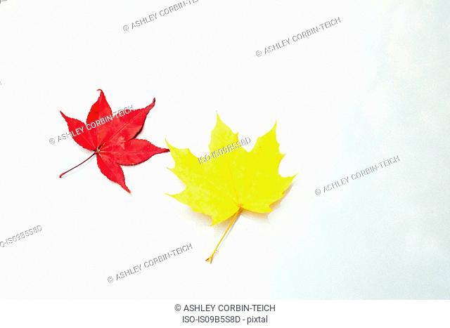 Japanese Maple leaf (Acer palmatum) and maple leaf (acer) on white surface, close-up