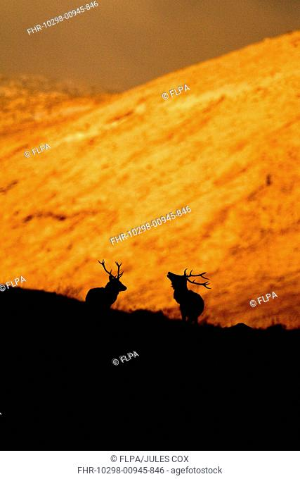 Red Deer Cervus elaphus two stags, silhouetted on snow covered upland at sunset, Cairngorms N P , Highlands, Scotland, december