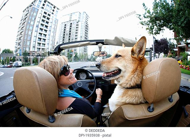 a woman drives in her classic volkswagen convertible with the top down, with her pet dog, through the streets of downtown, victoria, british columbia, canada