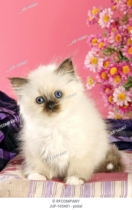 Sacred cat of Burma - kitten - sitting