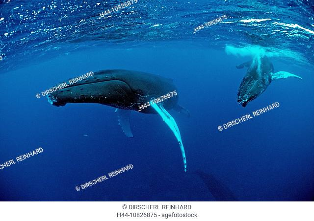Humpback whale, mother, Calf, Dominican Republic, Caribbean, Silverbanks, Caribbean Sea, animal, animals, balaenopteri