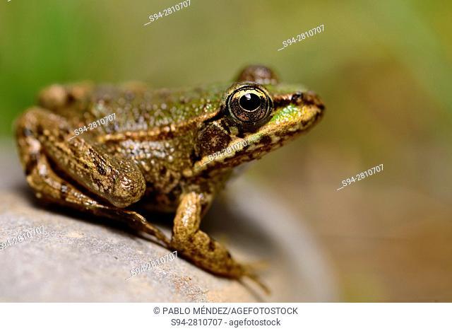 """Albanian water frog """"""""Pelophylax sqhiperica"""""""" in Ponari, Skadar lake, Montenegro"""