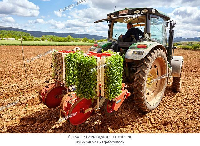 Farmers planting snuff plant, Agricultural field, Ancín, Navarre, Spain