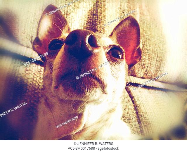 Close-up of a male chihuahua indoors, shot from a low angle. Blur vignette