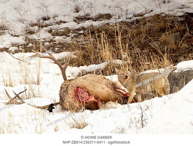 Coyote, (Canis latrans) and Magpie feeding on Elk carcass, Lamar River Valley, Yellowstone National Park, Wyoming