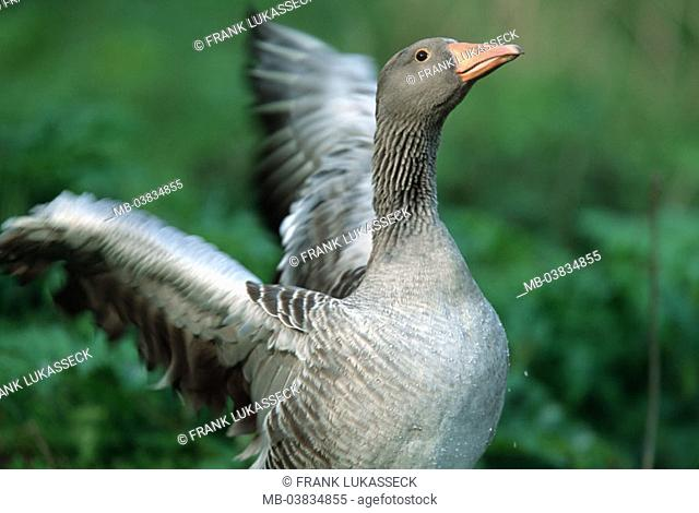 Gray goose, Anser anser, wings,  Movement, outside,   Meadow, animal, wild animal, bird, migratory bird, waterfowl, goose bird, goose, poultry, flight attempt