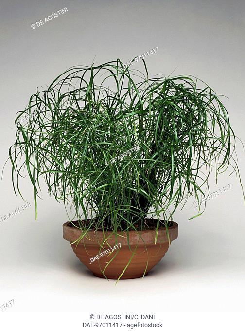 Paper Reed or Papyrus (Cyperus papyrus), Cyperaceae