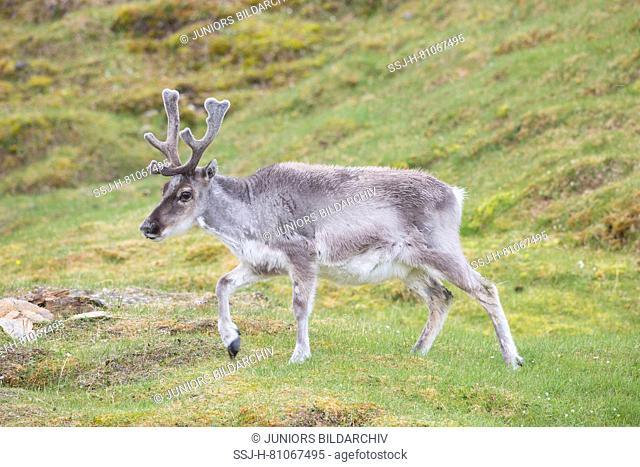 Svalbard Reindeer (Rangifer tarandus platyrhynchus). Male walking in tundra in summer. Svalbard
