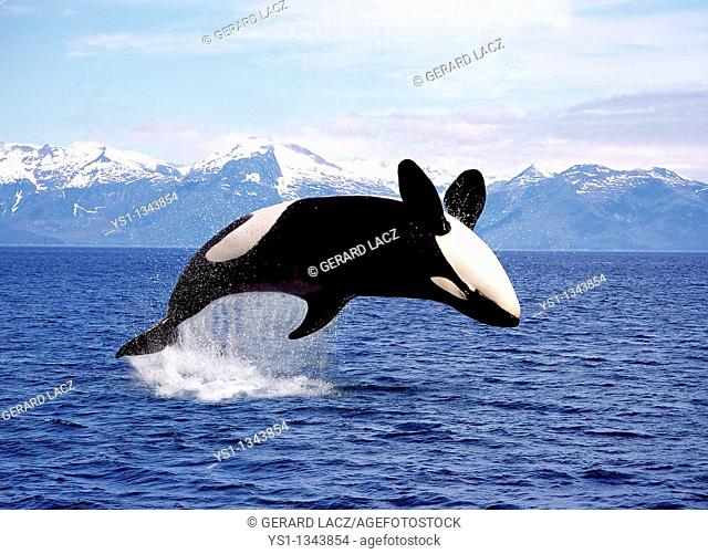 KILLER WHALE orcinus orca, ADULT LEAPING, CANADA