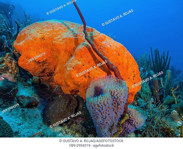 Niphates digitalis -Agelas clathrodes-Metazoa -Los Roques. Venezuela