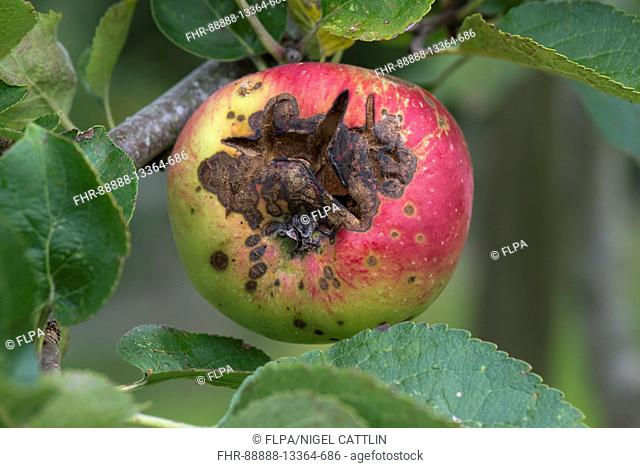Necrotic spotting and cracking caused apple scab, Venturia inaequalis, on a ripe apple on the tree, Berkshire, August