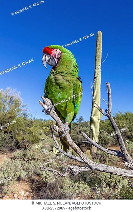 Captive military macaw, Ara militaris, from the Arizona Sonora Desert Museum, Tucson, Arizona, United States of America