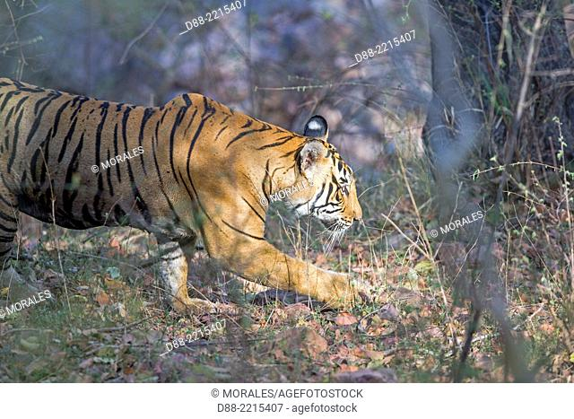 Asia,India,Rajasthan,Ranthambore National Park,Bengal tiger (Panthera tigris tigris),walking