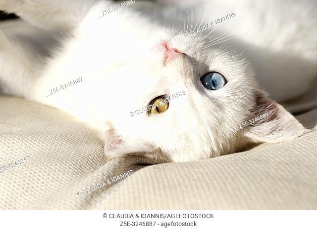 Portrait of a beautiful white odd eyed kitten lying on a cushion and looking back at camera