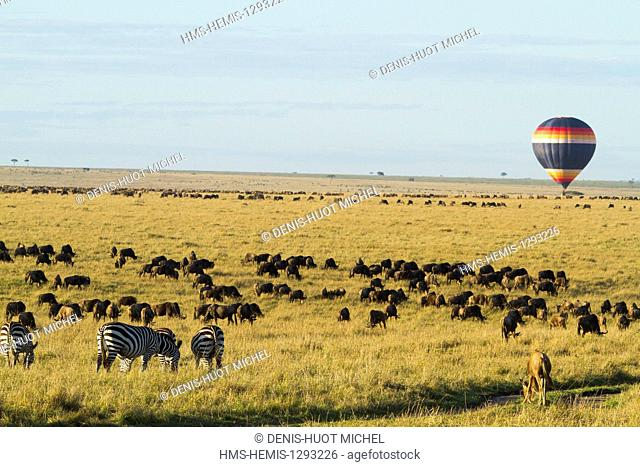 Kenya, Masai Mara national reserve, herd of wildebeest (Connochaetes taurinus), balloon fight
