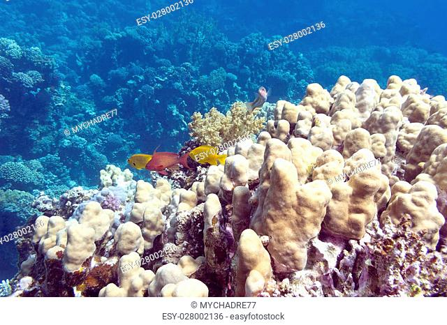 Coral reef with porites corals at the bottom of tropical sea, underwater