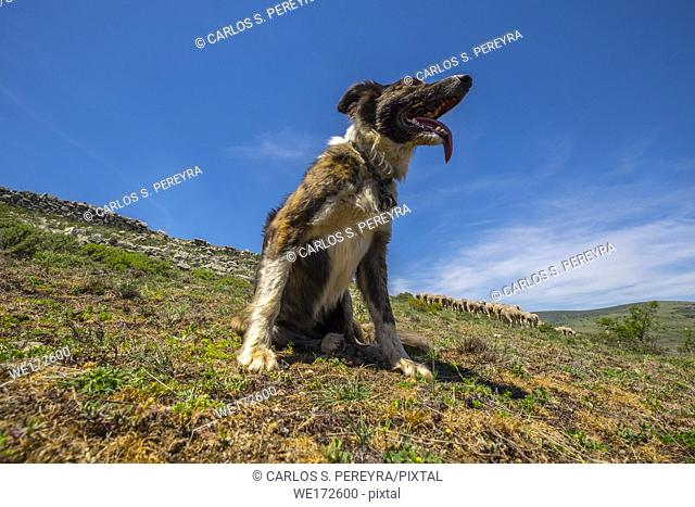 Sheepdog working on the transhumance route in the Soria region of Spain