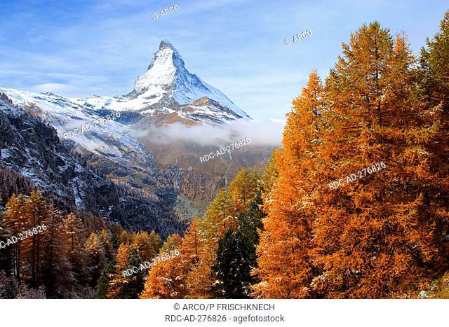 Larch forest, Matterhorn, Valais, Switzerland / Larix europaea / Mt. Cervin