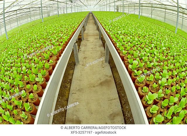 Growing Plants Cultivation, Dutch Greenhose, Holland, Netherlands, Europe