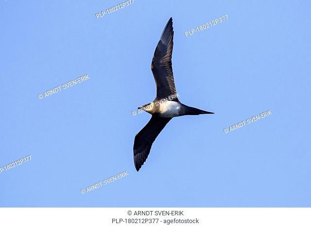Arctic skua / parasitic skua / parasitic jaeger (Stercorarius parasiticus) in flight against blue sky
