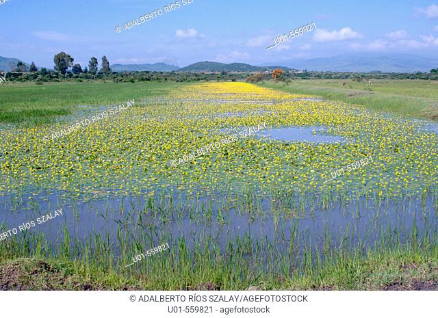 Wild Flowers on Water Michoacan Mexico