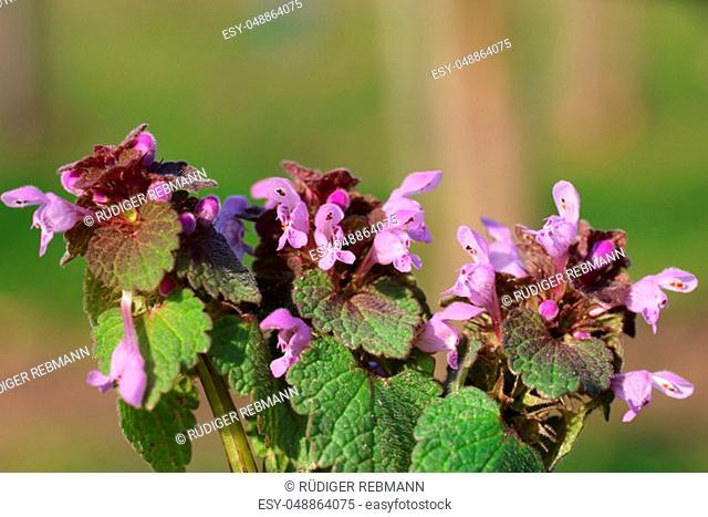 Flowering dobnessel