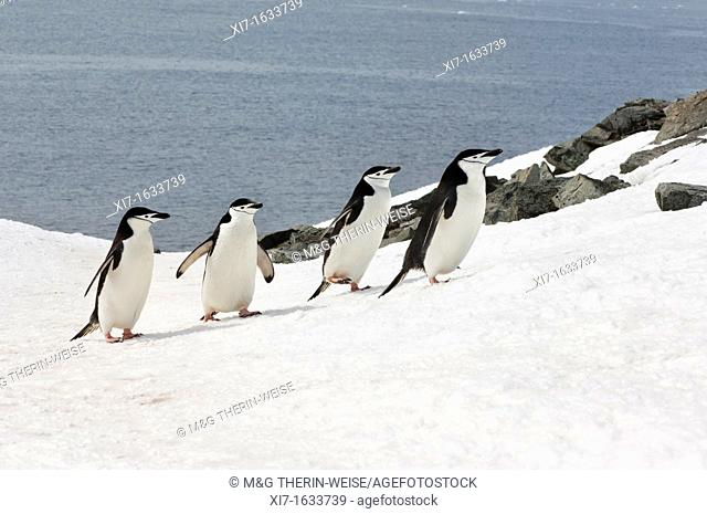 Chinstrap penguins Pygoscelis Antarctica walking up a glacial ice cap, Half Moon Island, South Shetland Island, Antarctic Peninsula