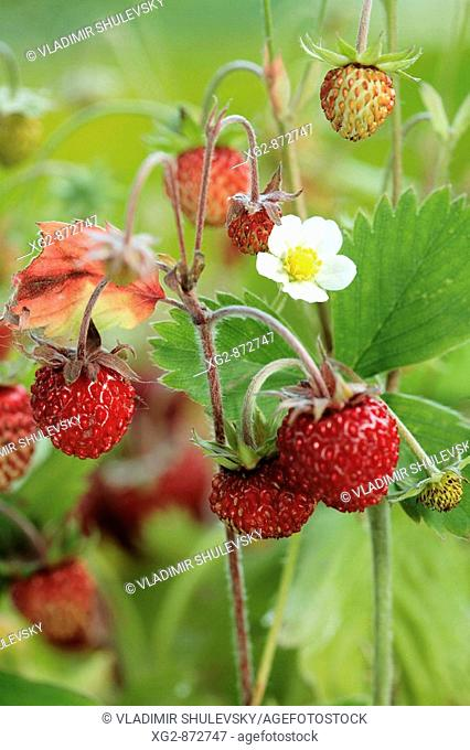 Ripe wild strawberries with a flower on the plant