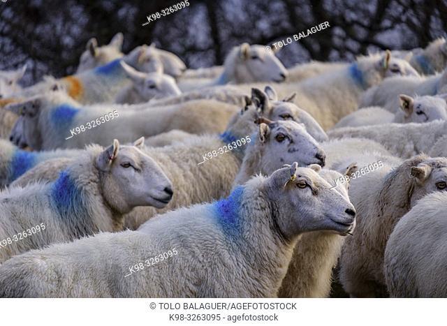 flock of sheep, Skinidin, Loch Erghallan, Isle of Skye, Highlands, Scotland, United Kingdom