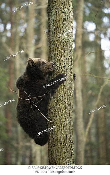 European Brown Bear ( Ursus arctos ) climbing up a tree, training its skills and strength, looks a little bit anxious