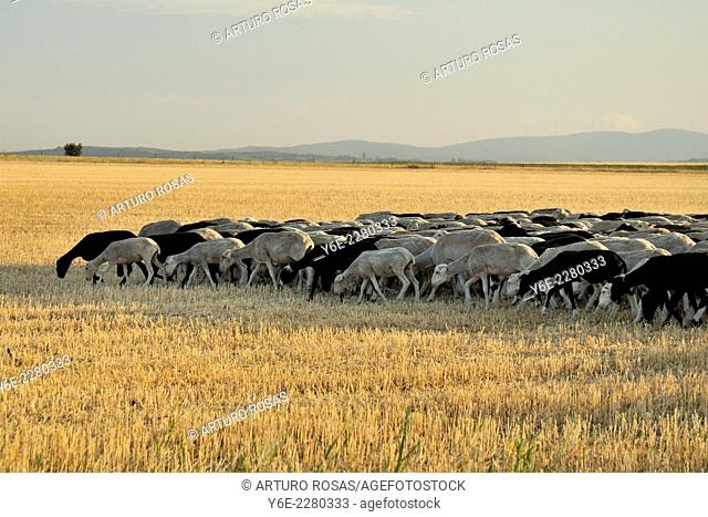 Flock of sheep in a cereal field of Muñoyerro (Ávila), Spain