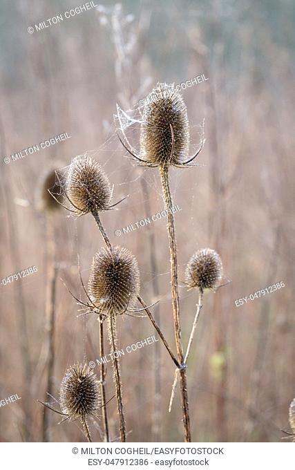 Bur covered in dew laden spider cobweb, sparkling in the bright morning winter's sunshine