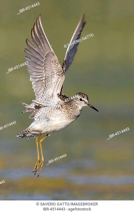 Wood Sandpiper (Tringa glareola), adult in flight, Campania, Italy