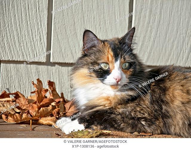 This pet cat is laying down outdoors on a porch with siding in the background and autumn leaves She is a long haired calico feline with striking green eyes and...