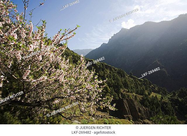 Almond tree with blossom near La Caldera, above the Barranco de las Angustias gorge, National Park, Parque Nacional Caldera de Taburiente