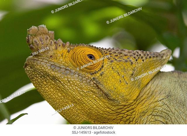 Parson's chameleon - portrait / Calumma parsonii