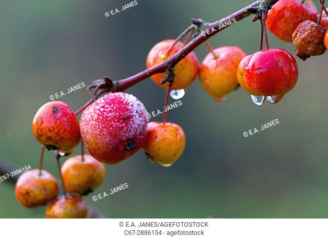 Frost On Crab Apples Malus sylvestris Morning