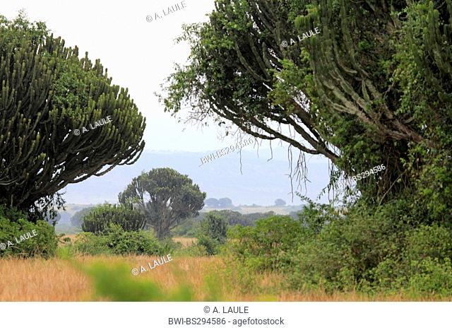 spurge (Euphorbia spec.), scenery of the savanna with trees spurges, Uganda, Queen Elizabeth National Park
