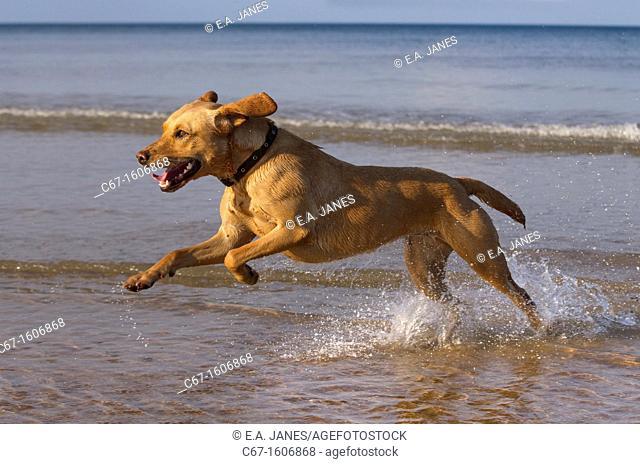 Yellow Labrador in action along the beach