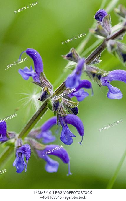 Balkan Clary, Salvia nemorosa or Woodland Sage, Tall hardy wildflower ofund in woodlands and grasslands with brilliant blue bonnets used in herbal medicine