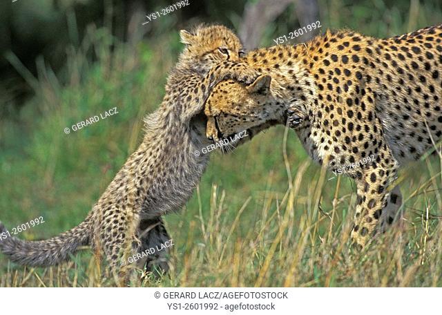 Cheetah, acinonyx jubatus, Mother and Cub playing, Masai Mara Park in Kenya
