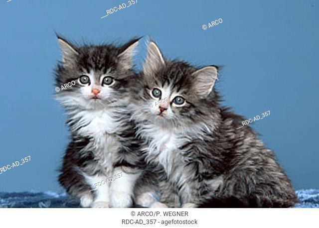 Norwegian Forest Cats kittens 7 weeks
