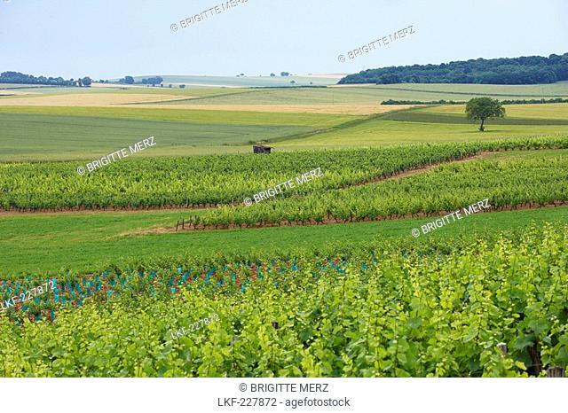 Vineyard near Clamecy, The Way of St. James, Chemins de Saint Jacques, Via Lemovicensis, Dept. Nievre, Burgundy, France, Europe