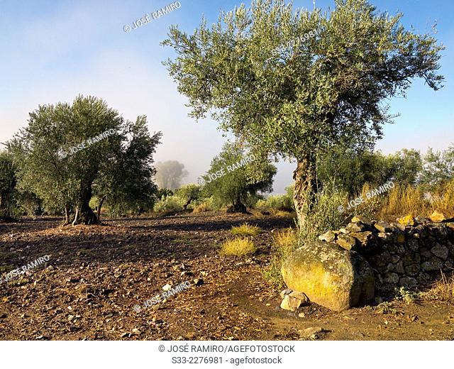 Olive trees in Valverde de Burguillos. Badajoz. Extremadura. Spain