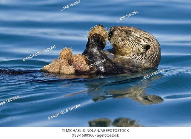 Adult female sea otter Enhydra lutris kenyoni eating urchins she has gathered off the sea floor in Inian Pass, Southeastern Alaska, USA, Pacific Ocean