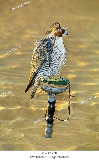 gyr falcon Falco rusticolus, gyr falcon with hood sitting on an observation point, United Arab Emirates, Dubai