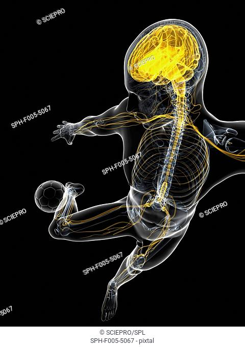 Football player. Computer artwork of a footballer with their central nervous system highlighted