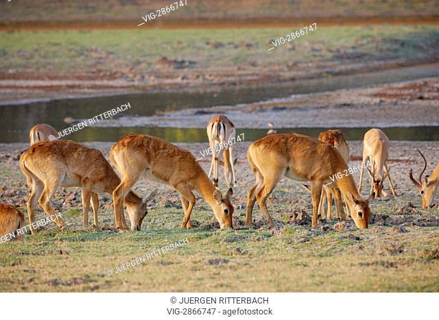 ZAMBIA, SOUTH, 01.10.2010, herd of Puku, Kobus vardonii, South Luangwa National Park, Zambia, Africa - South, Zambia, 01/10/2010